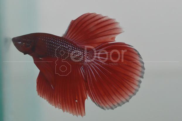 Berburu Ikan Cupang Hias Atau Aduan Di Slipi
