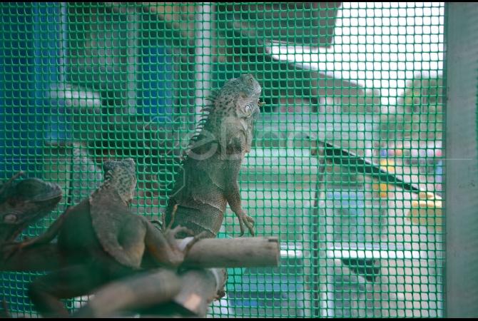 Hewan reptil seperti iguana juga ada di sini